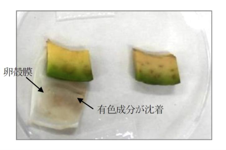 卵殻膜被覆の実験の様子。 左のアボカド果肉片は卵殻膜が被覆されており、卵殻膜に有色成分が沈着。右の未処理アボカド果肉片は果肉片自体に有色成分が沈着している。