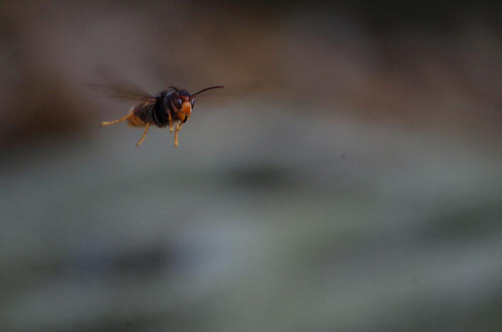 ツマアカスズメバチが飛んでいる様子。
