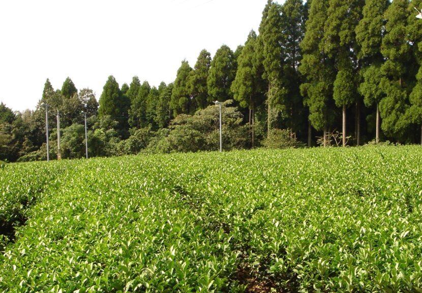 広がる茶畑。奥に杉林が見える