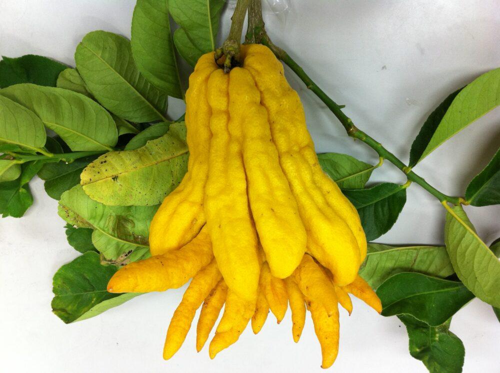 白い背景に葉の緑と、鮮やかな黄色の仏の手のようなかたちのくだもの。
